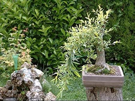 3 Large Trunk Bonsai Tree Cuts Bonsai Willow Tree Bundle Dragon Ready to Plant Indoor//Outdoor Bonsai Trees Australian Get one Each Weeping