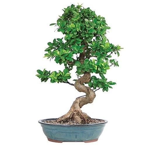 SS0144 Bonsai Grafted Ficus Tree Hooseplan or Garden Rich Green 14 Years Best Gift NEW