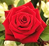 5 RED ROSE Rosa Bush Shrub Perennial Flower Seeds *Comb S/H