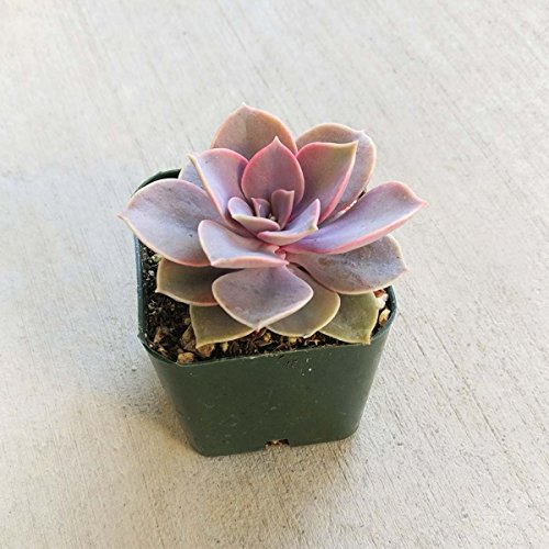 Echeveria Perle Von Nurnberg Succulent (2 inch)
