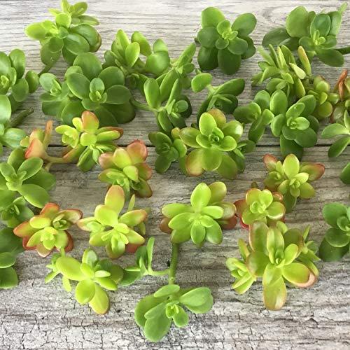 Cal Summer Garden 30+ Sedum Confusum Unrooted Cuttings Ground Cover Stonecrop Succulents