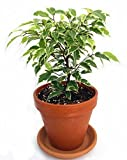 "Jmbamboo - Gardens Starlight Weeping Fig - Ficus - 4"" Clay Pot"
