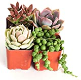 Good Juju Succulent Collection (Four Pack of 2'' Succulents) Plus Free Gift by Shop Succulents