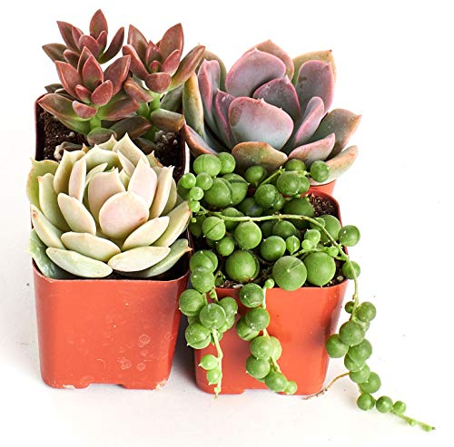 Shop Pearl Sets - Shop Succulents | Good Juju Collection of Live Succulent Plants with Free Gift Crystal, Hand Selected Variety Pack of Mini Succulents | Collection of 4