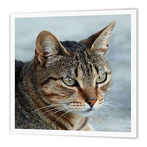 - 3dRose ht_16934_1 Tabby Cat Portrait Iron on Heat Transfer Paper for White Material, 8 by 8