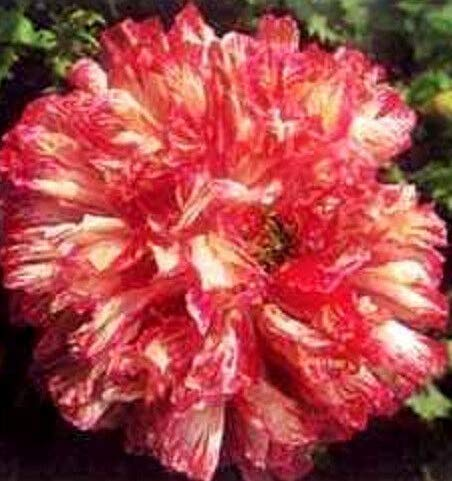 Seeds Flemish Antique Mix Peony Poppy Papaver Peoniflorum Mixed Color Flower Get 100 Seeds #LC01YN