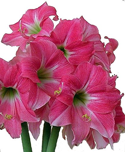 'Neon Rose' Amaryllis 1 Bulb - Exotic - 26/+ cm