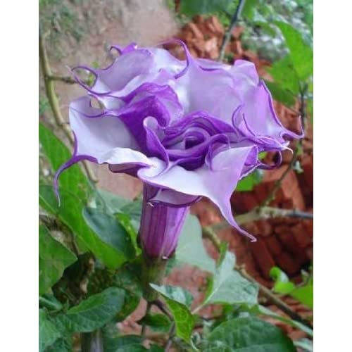 Datura purple queen double - angels trumpet - 15 seeds