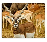 Luxlady Gaming Mousepad blackbuck or Antilope cervicapra IMAGE ID 7257804