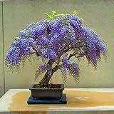 15 Seeds Jacaranda Mimosifolia Seeds (Blue Jacaranda Seeds)