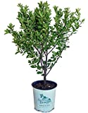 American Beauties Native Plants - Prunus maritima (Beach Plum) Shrub, 2 - Size Container