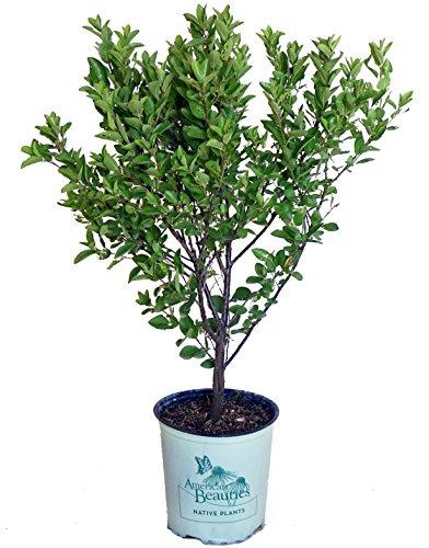 Beach Plum - American Beauties Native Plants - Prunus maritima (Beach Plum) Shrub, , #2 - Size Container