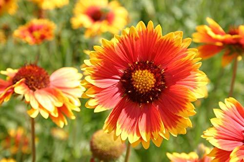 """Blanketflower"" Common Gaillardia Indian Perennial Flower Seeds, 500+ Premium Heirloom Seed, (Gaillardia Aristata), 95% Germination, (Isla"