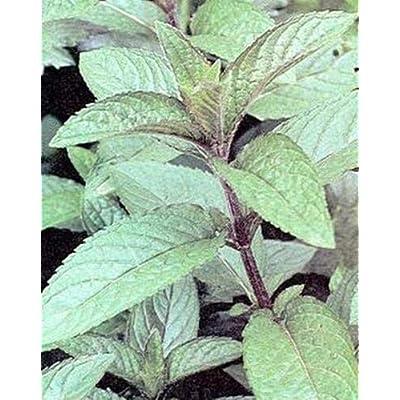 Toyensnow - Herb Seeds - Peppermint (50 Seeds) : Garden & Outdoor
