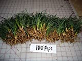 New and Healthy DWARF MONDO GRASS 100 PIPS EVERGREEN GROUND COVER ROCK GARDEN BORDER NANA VARIETY