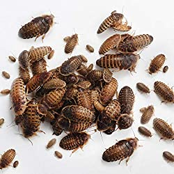 Thai Live Insect Dubia Roach Reptile Feeders 25 Adult Females and 10 Adult Males for Breeder Starter Colony