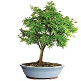 Brussel's Japanese Maple 'Sharp's Pygmy' Bonsai - XX Large - (Outdoor)