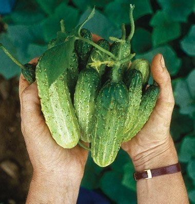 David's Garden Seeds Cucumber Pickling Northern D330A (Green) 50 Organic Seeds