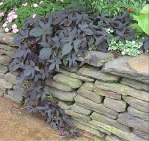 HIGH Germination Seeds:Blackie Sweet Potato e 1- Seedling e Plant Fast Growing