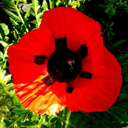 (3g (~ 12,000 Seeds)000/24000 Poppy Seeds Oriental Oriental red Scarlet Poppy Perennial)