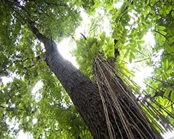 Mahagonibäume  Swietenia macrophylla, Mahagonibaum, Honduras Mahagoni, 5 Samen ...