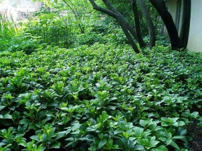 Classy Groundcovers - Pachysandra terminalis {50 Bare Root Plants} by Classy Groundcovers (Image #1)