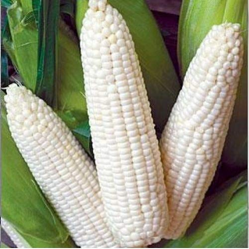 - David's Garden Seeds Corn Dent Trucker's Favorite 4944 (White) 100 Non-GMO, Open Pollinated Seeds