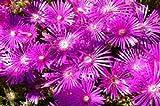50+ DELOSPERMA FLORIBUNDA STARDUST ICE PLANT FLOWER SEEDS /PERENNIAL