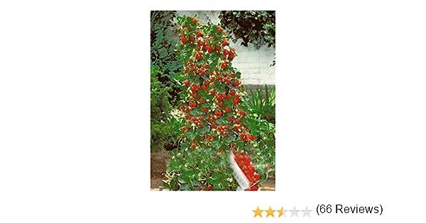 Exotic Plants Fresa Escalada Gigante roja - 30 Semillas: Amazon.es ...
