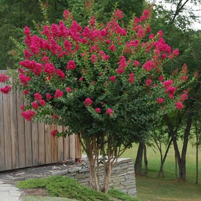 Tonto Dwarf Crape Myrtle, 1 Plant, Striking Dark Watermelon Red, Matures 8'-10' (2-4ft Tall When Shipped, Well Rooted in Pots with Soil) (1) : Garden & Outdoor