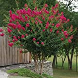 TONTO Dwarf Crape Myrtle, 1 Plant, Striking Dark Watermelon Red, Matures 6'-8' (3-4ft Tall When Shipped, Well Rooted in Pots with Soil)