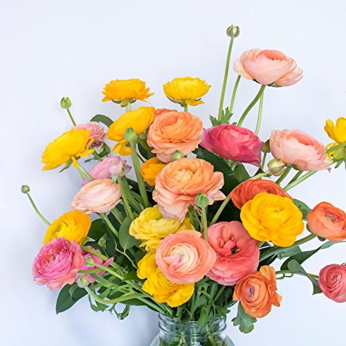 Tecolote Ranunculus Rainbow Mix - Persian Buttercup Bulbs (Not Seeds) - 10 XL Bulbs - 8+ cm | Ships from Easy to Grow TM