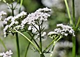 Valerian HERB, 51 Seeds VALERIANA OFFICINALIS, Beautifully Scented Flowers, HERB