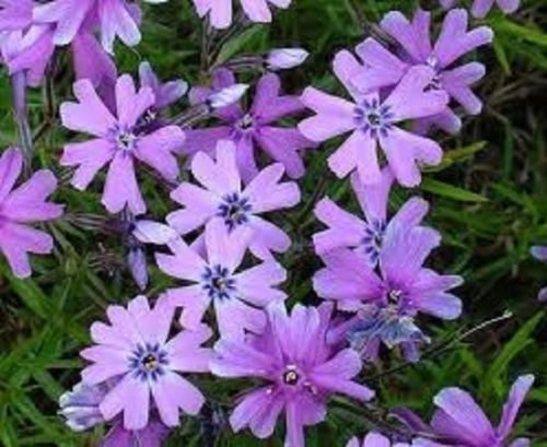 (Phlox SUBULATA 'Purple Beauty' - Creeping Phlox - Starter Plant)