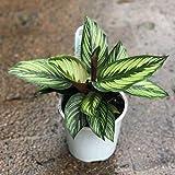 American Plant Exchange Calathea Beauty Star Pet