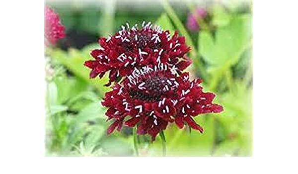 Amazon 25 Fire King Pincushion Flower Seeds Scabiosa