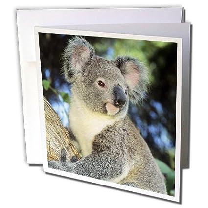 Amazon 3drose koala bear australia eucalyptus tree sa01 3drose koala bear australia eucalyptus tree sa01 ksc0000 kevin schafer greeting m4hsunfo