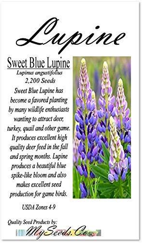 1 LB (2,200) Sweet Blue Lupine Seed - Lupinus angustifolius - for Deer, Turkey, Pheasant, Rabbit and Quail - aka Narrow-leafed Lupine - Big Pack Seeds by MySeeds.Co (Big Pack - Sweet Lupine) ()