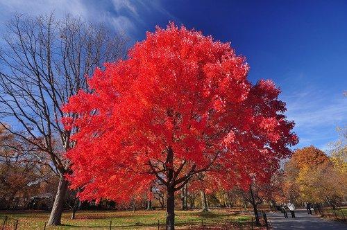 Autumn Blaze Maple Tree (6-7 Feet) - Autumn Blaze Maple Tree