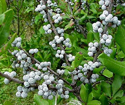 Shoppy Star Germination Seeds: 120 Seeds: Northern Bayberry, Myrica pensylvanica, Shrub Seeds, (Hardy Fragrant Hedge)
