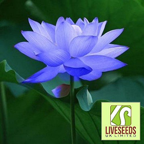 Liveseeds - Bowl lotus/water lily flower seed/bonsai Lotus seeds/ Sapphire Lotus/5 Fresh Seeds