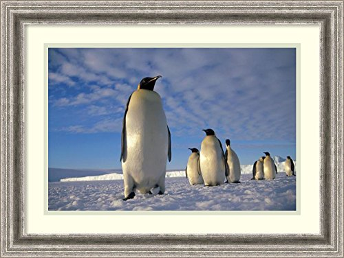 framed-art-print-emperor-penguin-group-kloa-point-edward-viii-gulf-antarctica-by-tui-de-roy