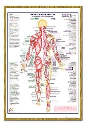 Cuerpo Humano principales posterior músculos Póster Magnético Tablón ...