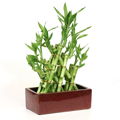 Lucky Bamboo Arrangement Are Intertwined to Form a Pyramid Shape with Ceramic Vase Unique From Jmbamboo