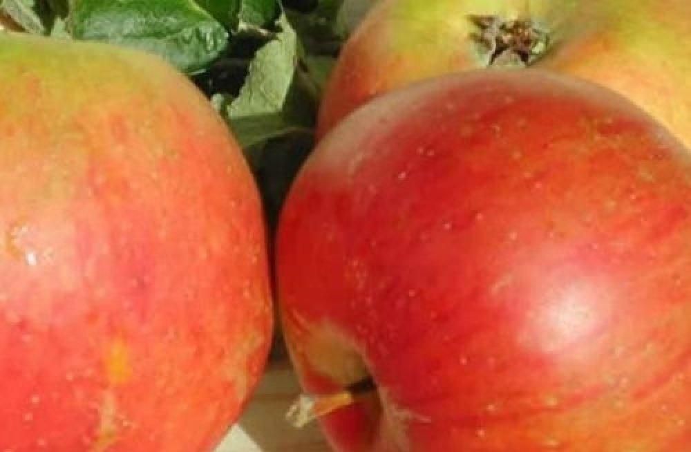 Malus Blenheim Orange Apple Dwarf Fruit Tree 4-5FT Supplied in a 7.5 Litre Pot MM106 Rootstock Direct Plants