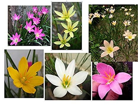 Urban Gardens Rain Lily Mixed Bulbs A Mix Of 6 Varieties Dark