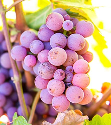 (Pinot Gris #146 Seedless Blue Wine Grape, Live Potted Grape Plant 1-2 Years Old )