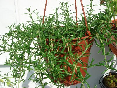 Clovers Garden Trailing Rosemary Herb Plant - Non-GMO - Two (2) Live Plants - Not Seeds - Each 3''-7'' Tall - In 3.5 Inch Pots - Prostrate Creeping Rosemary by Clovers Garden (Image #5)