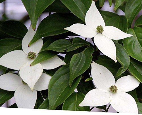 Tree Kousa Cornus Dogwood - Specimen Tree, Cornus Kouse, Kousa Dogwood 8-12