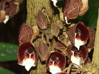 Gespensterblume Aristolochia elegans 1000 SAmen